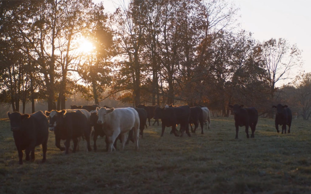 Early morning sun shining through trees above herd of cattle