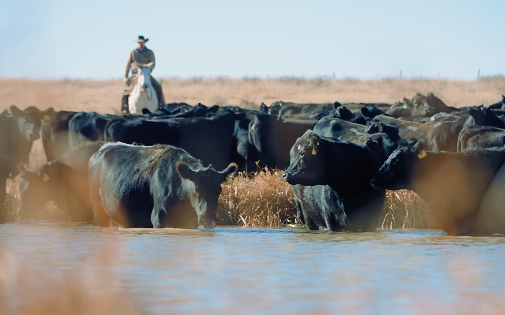 Rancher on horseback watches over herd of cattle drinking at edge of water.