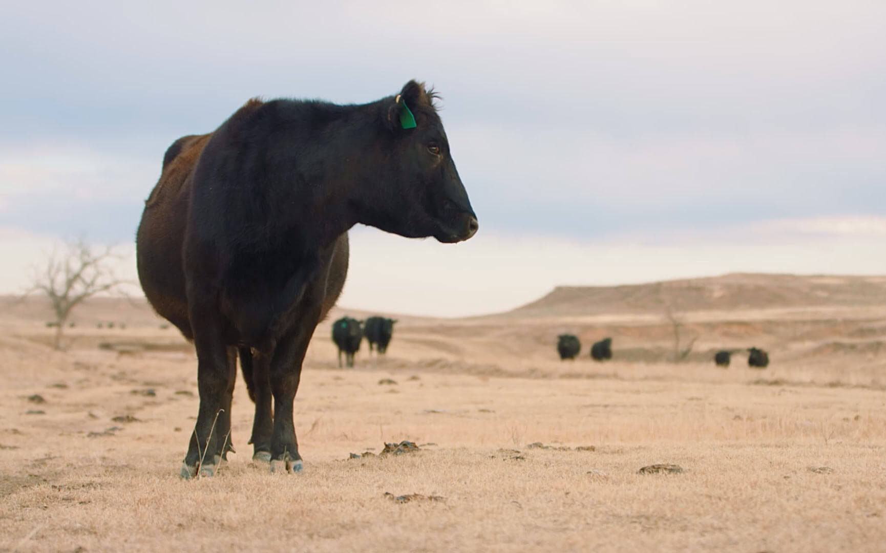 Large angus in foreground with smaller member in the herd in the distance against the dusty Texas plains.