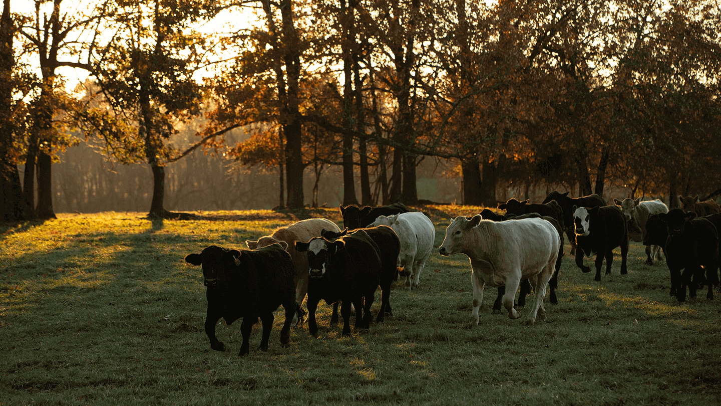 Merck Animal Health Works Cattle in Pasture